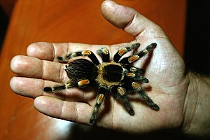 Man Jailed for Mailing Tarantulas